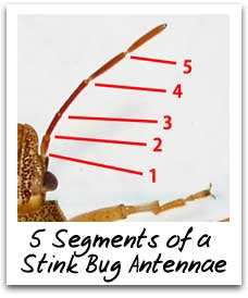 Stink Bug Antenna