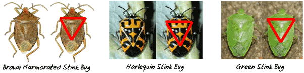 Stink Bug Triangle