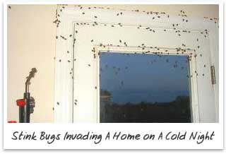 Stink Bugs Invading Homes